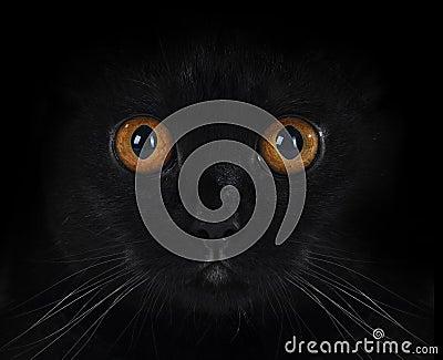 Portrait of a black British cat