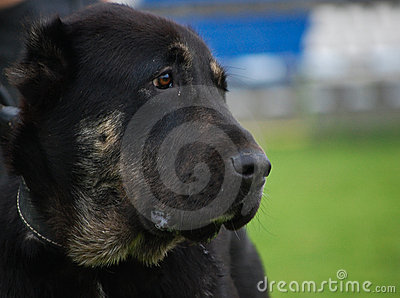 Portrait Black Dog looking right