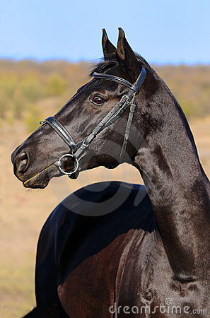A portrait of  black horse