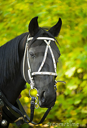 Portrait of a black horse