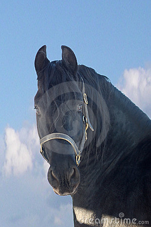Portrait of the black horse