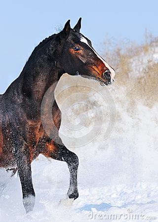 Portrait of black  horse in winter