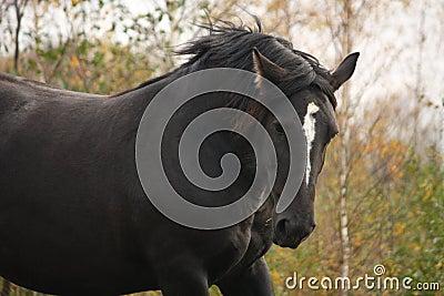 Portrait of black percheron in autumn