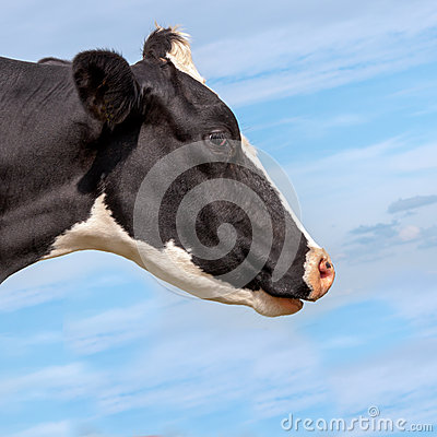 Portrait of a black spotted cow
