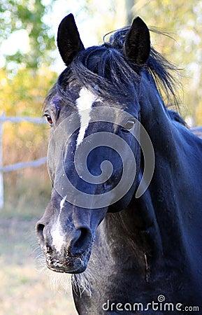 Portrait of the black stallion