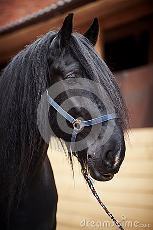 Portrait of a black stallion.
