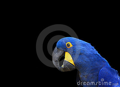 Portrait blue hyacinth macaw