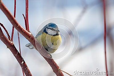 Blue tit in winter