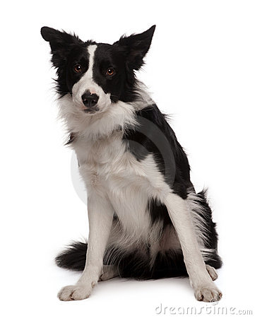 Portrait of Border collie, 3 years old, sitting