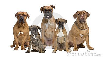 Portrait of boxer dogs against white background