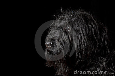 Portrait of Briard dog