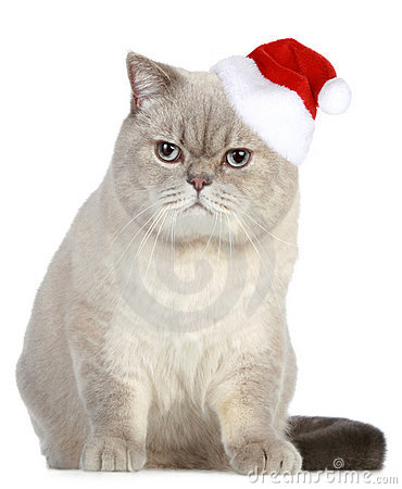 Portrait of a British cat in red Christmas hat