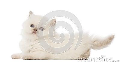 Portrait of British Longhair Kitten