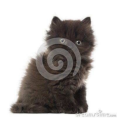 Portrait of British Longhair Kitten sitting