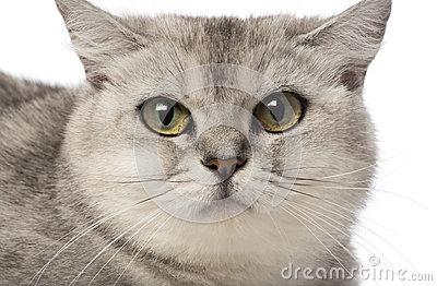 Portrait of British Shorthair, 3 years old