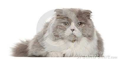 Portrait of British Shorthair cat, 6 months old