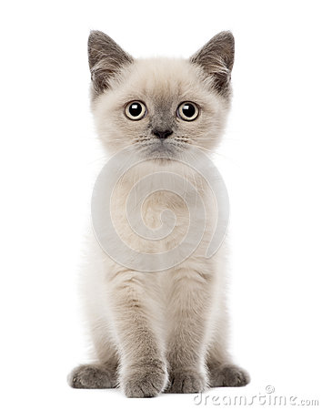 Portrait of British Shorthair Kitten sitting