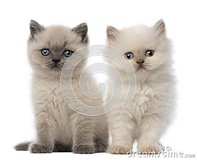 Portrait of British Shorthair Kitten sitting