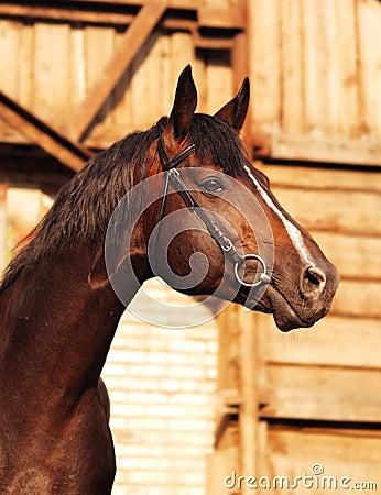 Portrait of brown breed sportive