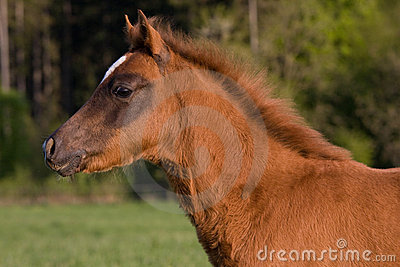 Portrait of brown foal