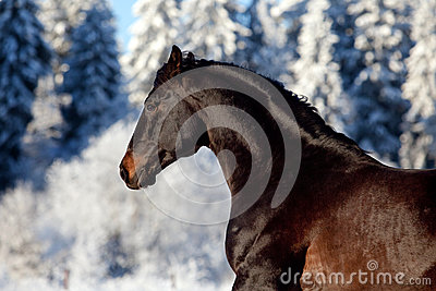Portrait of brown horse galloping in winter forest