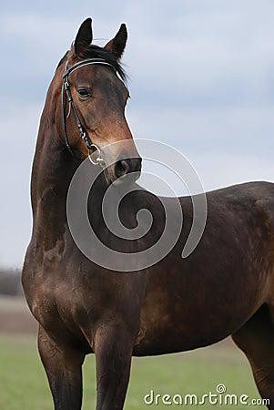 Portrait of brown mare