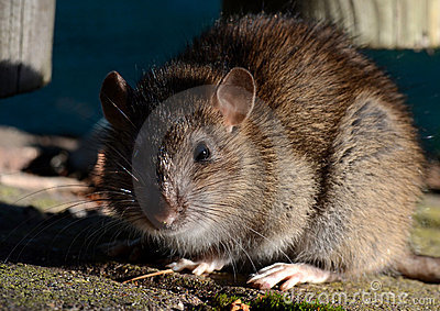 Portrait of a Brown Rat