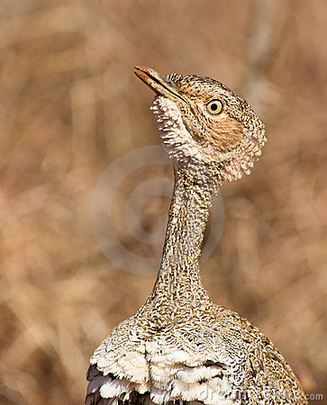 A portrait of the Buff-crested Bustard