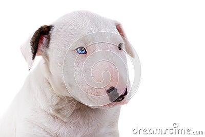 Portrait of Bullterrier puppy