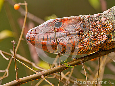 Portrait of a Caiman Lizard