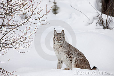 Portrait Canadian Lynx