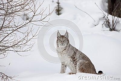 Portrait Canadian Lynx