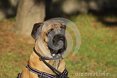 Portrait of a cane corso dog with tender eyes and mouth filled with drool Stock Photo