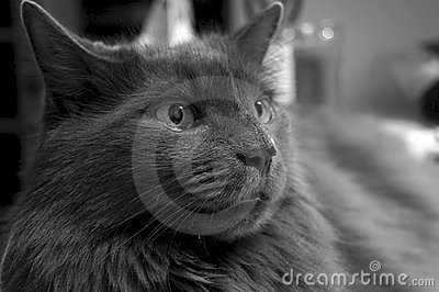 Portrait of charcoal cat in black and white