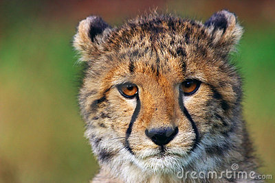 Portrait of cheetah cub