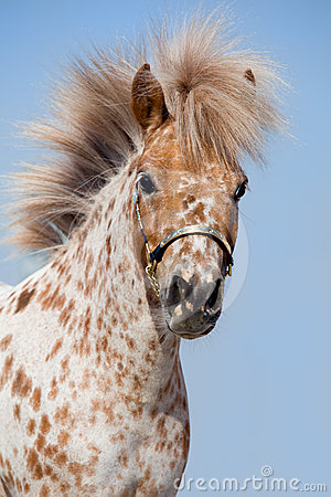 Portrait of chestnut in spots miniature horse