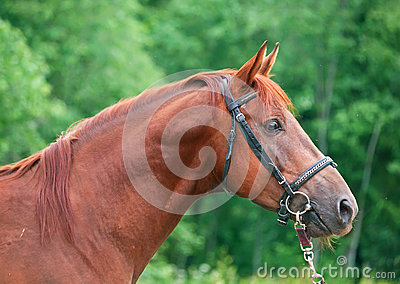 Portrait of chestnut Trakehner stallion.