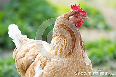 Portrait chicken