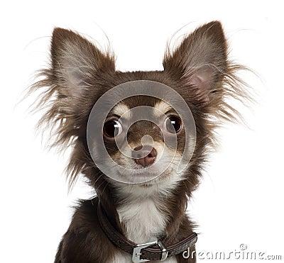 Belgian Shepherd Dog Puppy 3 Months Old Royalty Free Stock Photos ...