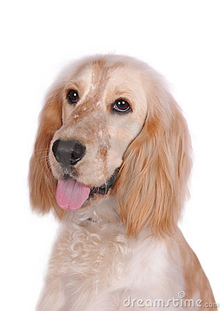 Portrait of cocker spaniel isolated on white