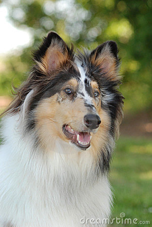 Portrait of a Collie, rough coat