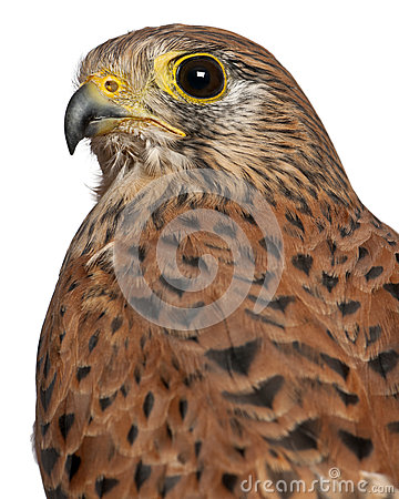 Portrait of Common Kestrel