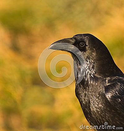 A portrait of a Common Raven