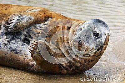 Portrait of a Common Seal