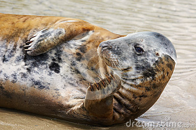 Portrait of a Common Seal