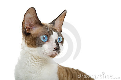 Portrait of Cornish Rex cat