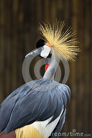 Free Portrait Crowned Crane In Zoo Royalty Free Stock Images - 25623509