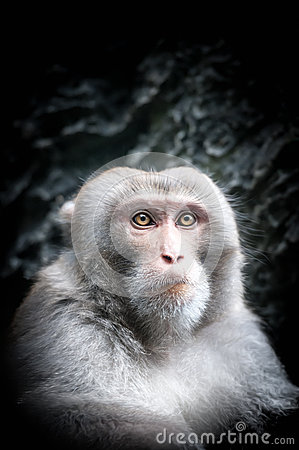 Portrait Cute Little Monkey Serious Face Gray Fur Smart Look Close Up Animal Black Background View Thinking