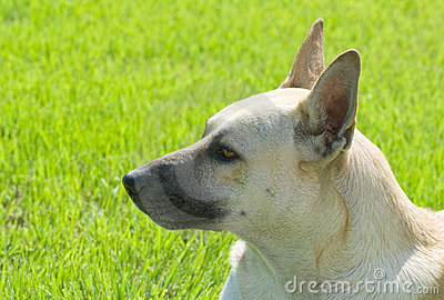 Portrait of cute sheep dog