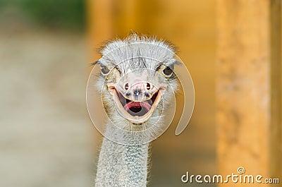 Portrait d autruche